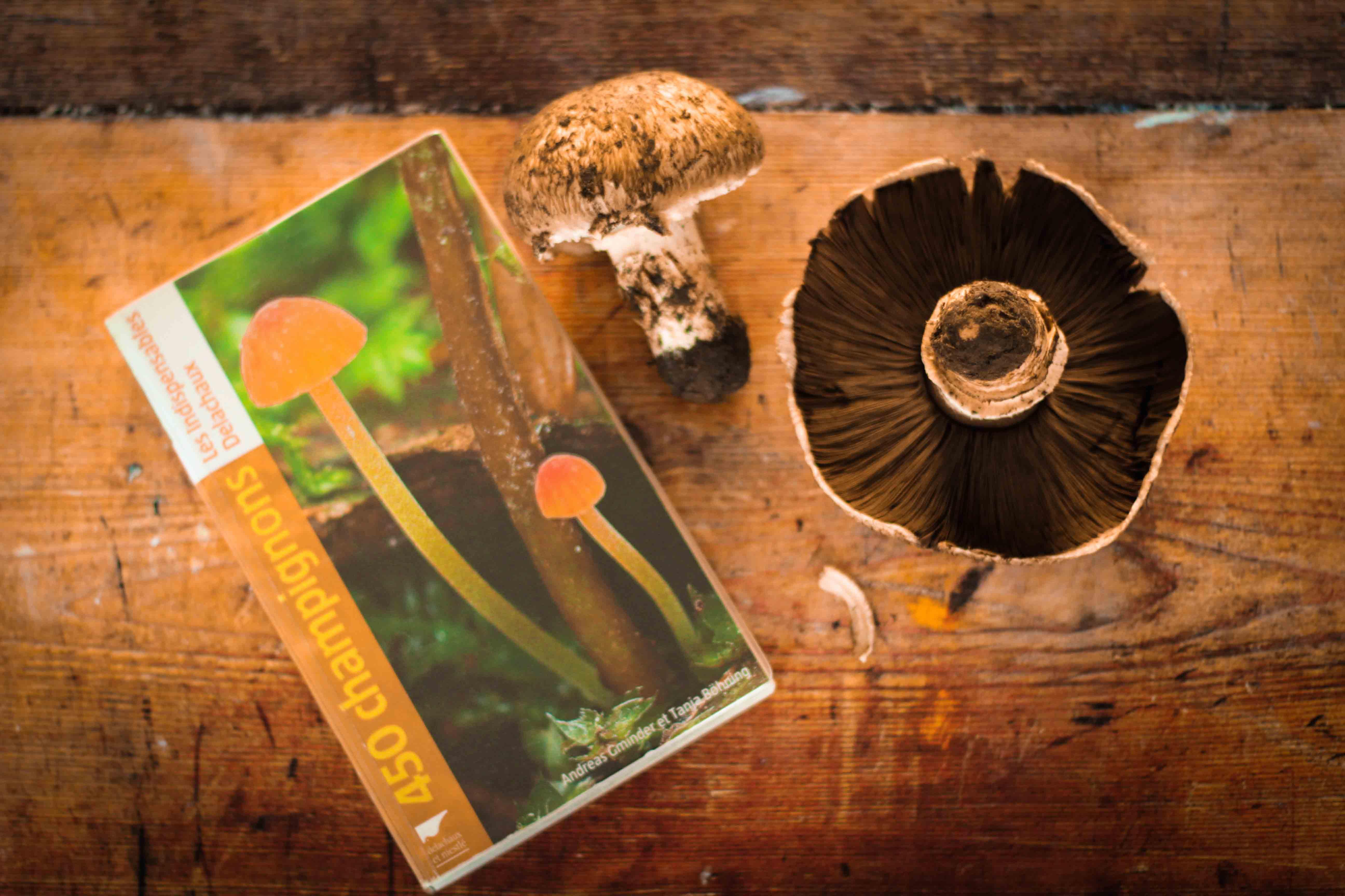 claudialeclercq-edible mushrooms-champignons comestibles_-16