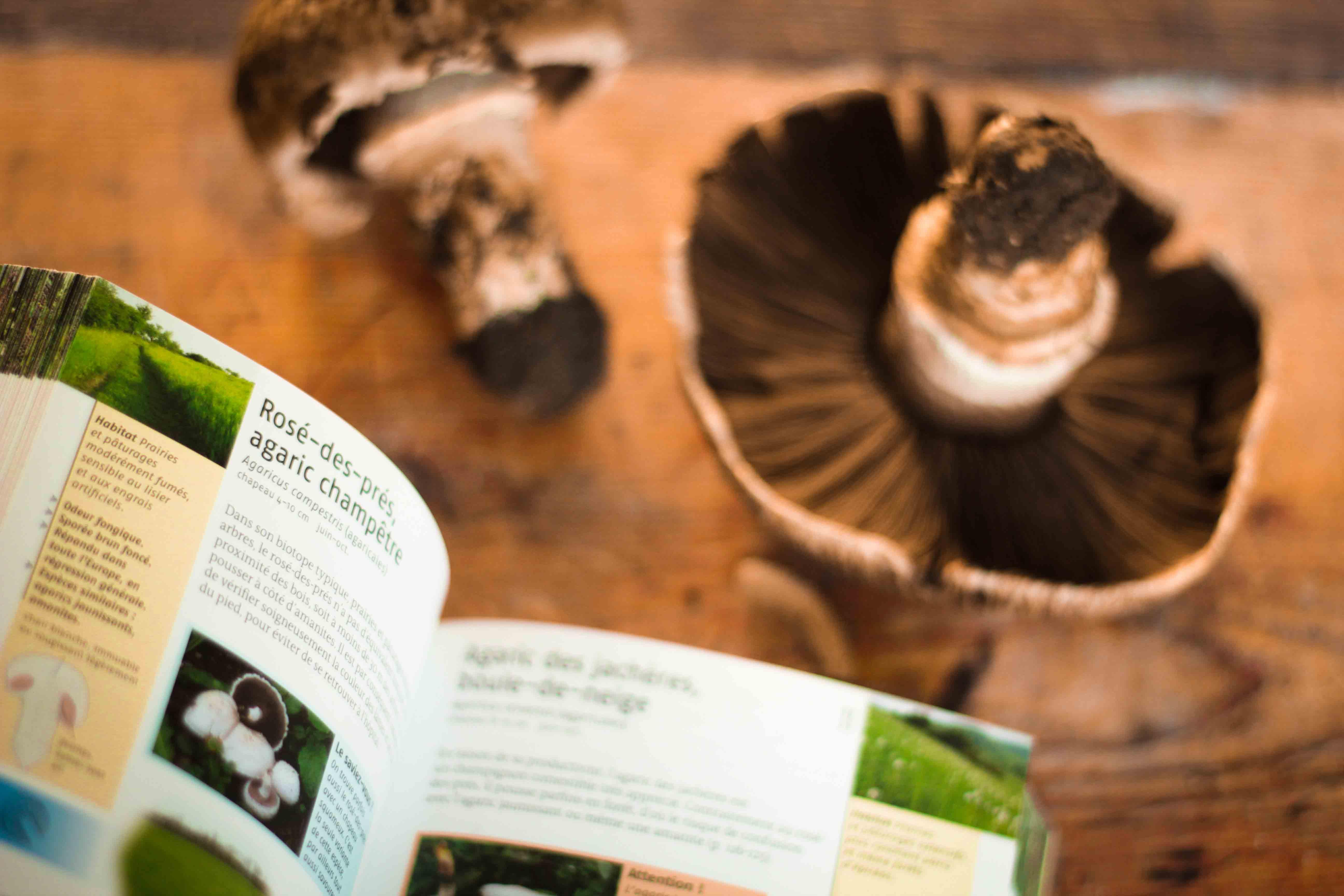 claudialeclercq-edible mushrooms-champignons comestibles_-18