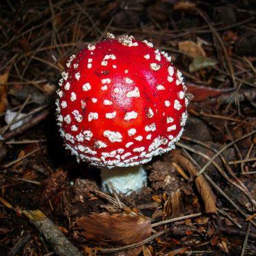 claudialeclercq-non edible mushrooms-champignons non comestibles-amanita muscaria
